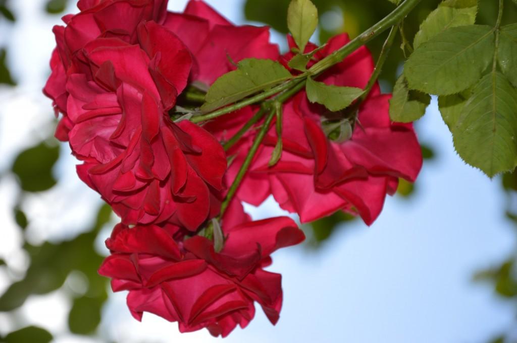 rose-874877_1920
