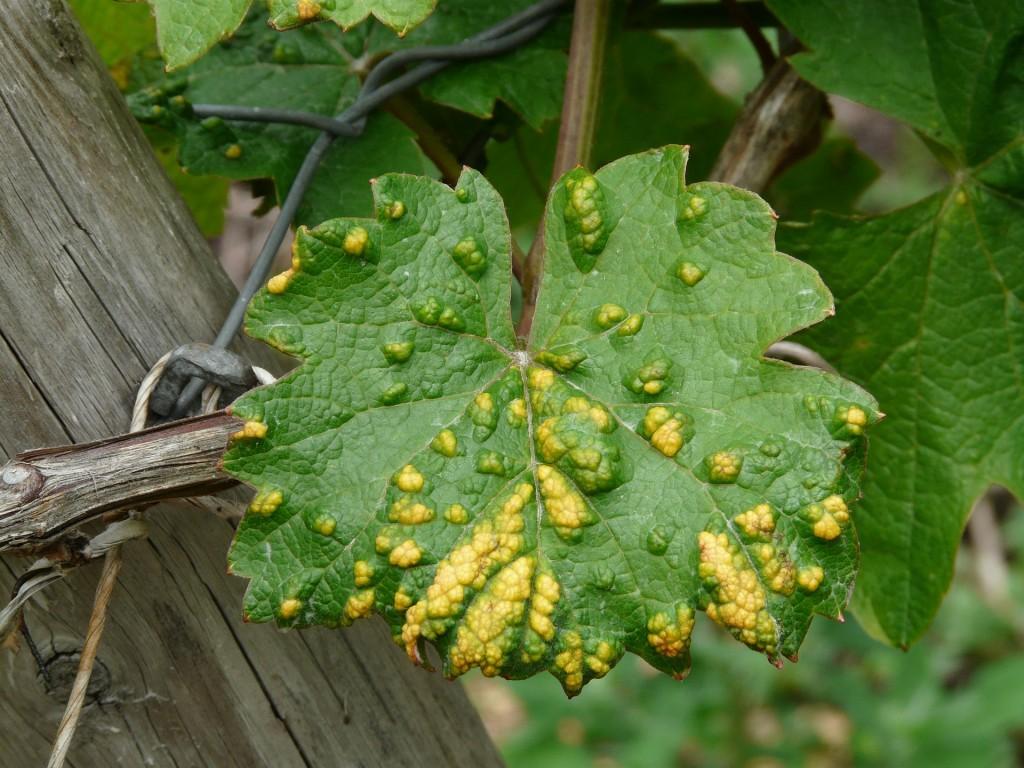 wine-leaf-56053_1920